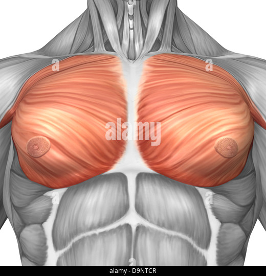 pectoral muscles stock photos & pectoral muscles stock images - alamy, Human Body