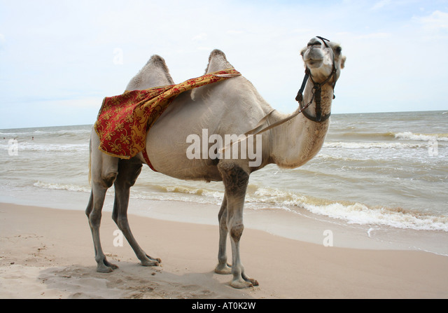essay on camel the ship of the desert Camel is called the ship of desert because it is the only mean of transportation found in deserts which helps human being go from one place to another easily in the .