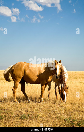 Paint Horses Stock Photos & Paint Horses Stock Images - Alamy