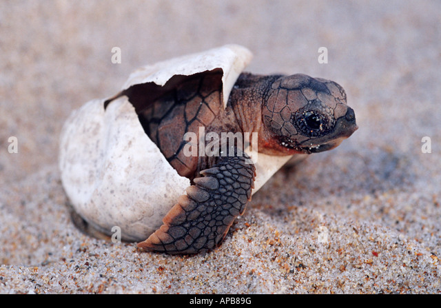 the origin and evolution of turtles Sent the actual history of turtle evolution or they may reflect the inability of existing  data to resolve certain phylogenetic levels in the first case,.