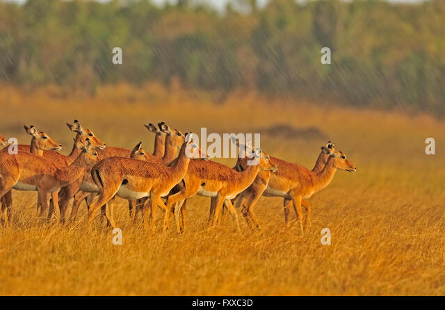 Baby Impala With Female Herd stock photo 484353252 | iStock