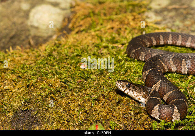 Watersnake Stock Photos & Watersnake Stock Images - Alamy
