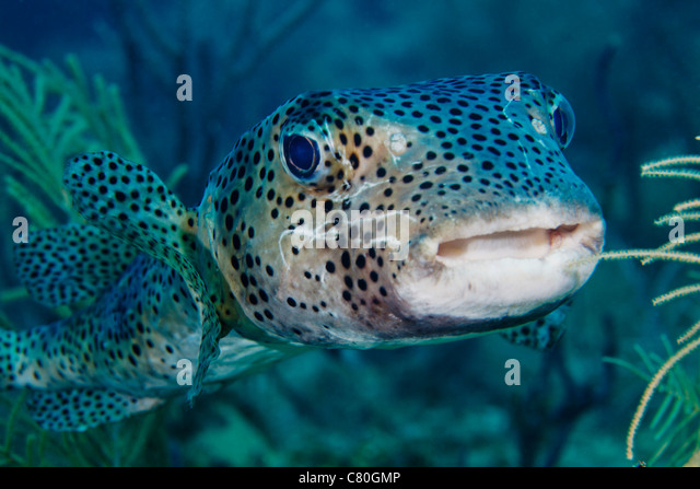 Diodontidae stock photos diodontidae stock images alamy for Puffer fish florida