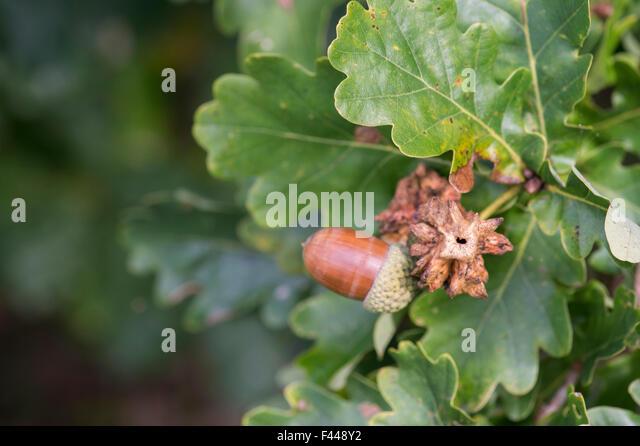 Quercus Muehlenbergii Acorn