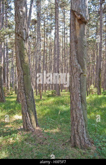Timber extraction stock photos timber extraction stock for Pine tree timber