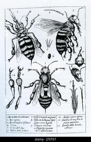 FRANCESCO STELLUTI (1577-1652) Italian polymath. Microscope drawings from his 1630 book 'Persio tradotto  in - Stock Image