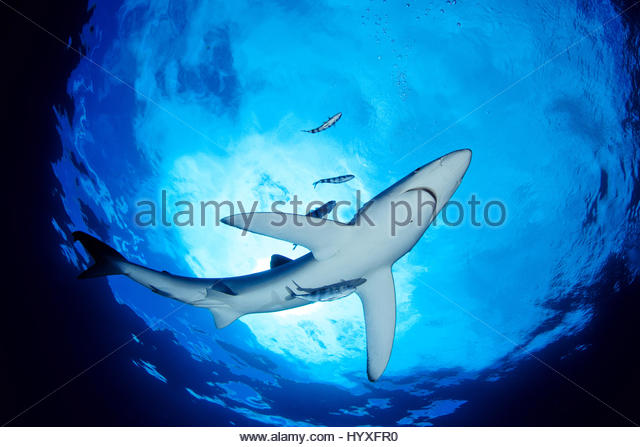 blue shark accompanied pilot fish stock photos blue shark  a blue shark accompanied by pilot fish swims close to the surface of the atlantic ocean