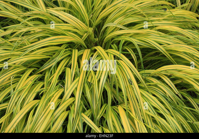 Yellow variegated stock photos yellow variegated stock for Variegated ornamental grass