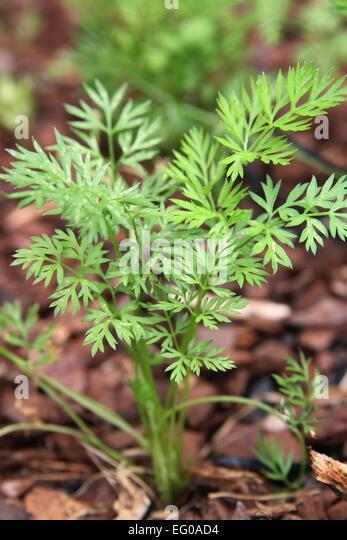 carrot seedling stock photos amp carrot seedling stock