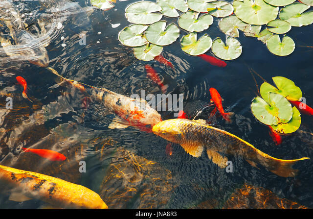 Big fish small pond stock photos big fish small pond for Colorful pond fish