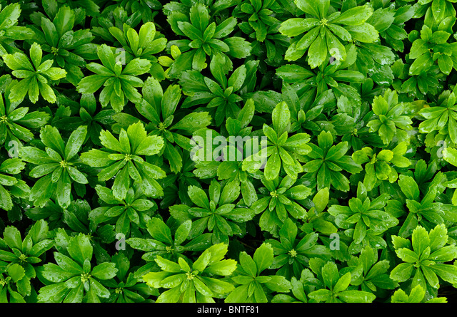 evergreen groundcover stock photos  evergreen groundcover stock, Beautiful flower