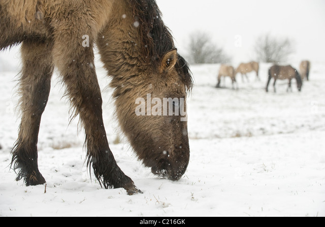 Does anyone know where the konik horses are at Hothfield common in Kent?