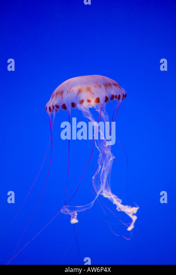 Jelly fish purple facts striped