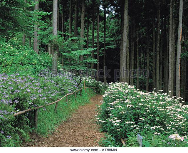 Ichinoseki Japan  city photo : ... hydrangea Garden, Summer, Ichinoseki, Iwate, Japan Stock Image