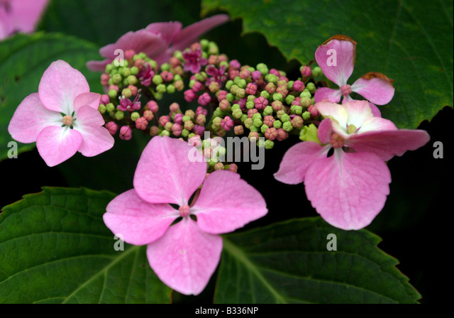 A Pretty Pink Hydrangea Just Starting To Flower In A Cottage Garden   Stock  Image