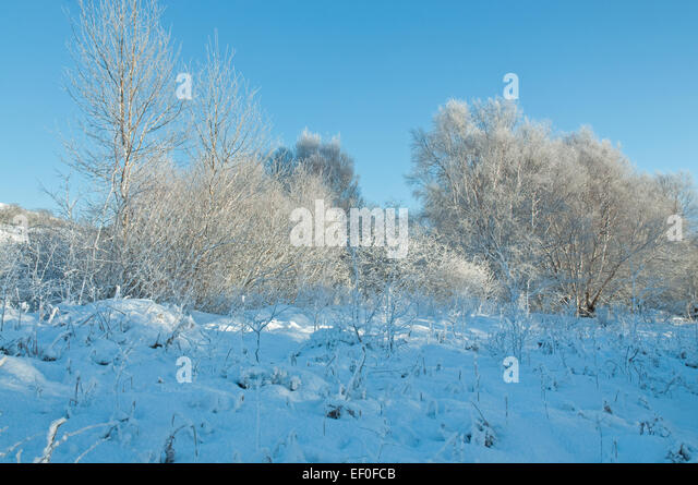Birch and frost