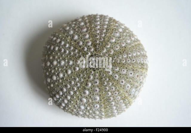 White sea urchin shell - photo#14