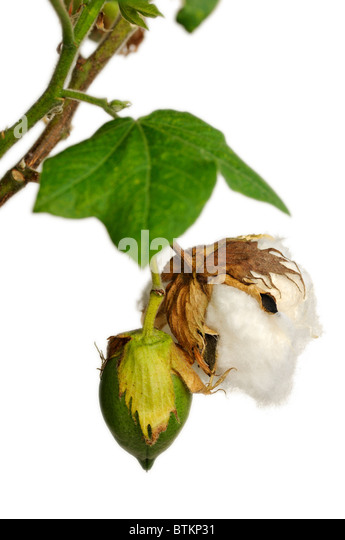 Cotton Boll Tobacco