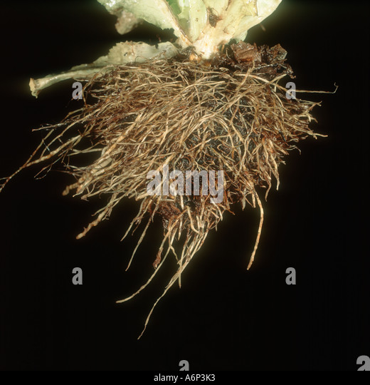 Lettuce Roots Stock Photos & Lettuce Roots Stock Images ...  Lettuce Roots S...