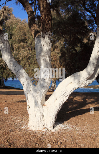 White painted tree trunk stock photos white painted tree - White painted tree trunks ...