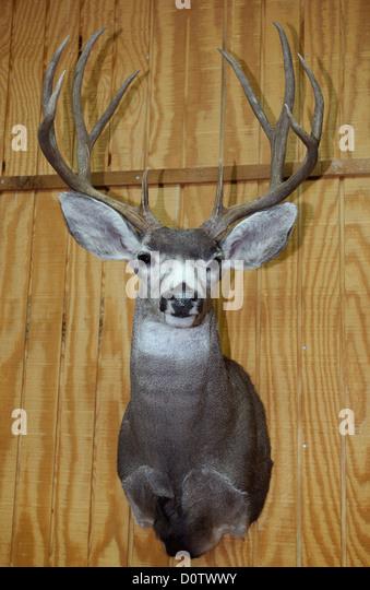 Deer Antlers Mounted Stock Photos Amp Deer Antlers Mounted