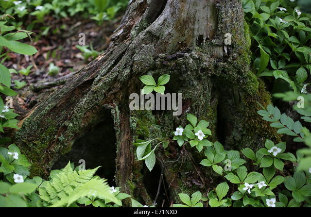 Isle royale stock photos isle royale stock images alamy - Flowers that grow on tree trunks ...