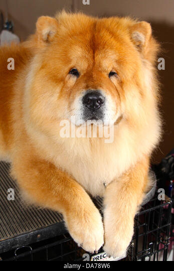 Chow Chow Dog Chinese Food