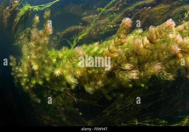 ... small tributary of Danube, Danube Delta, Romania, June. - Stock Image