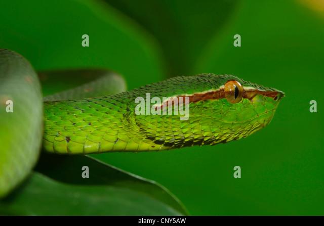 Green viper snake head