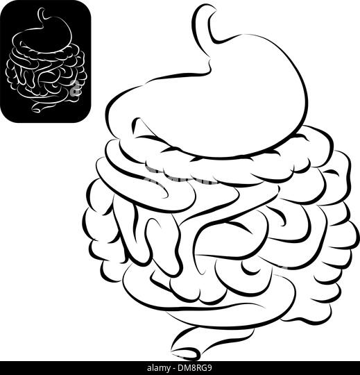 digestive system intestines stock photos  u0026 digestive system intestines stock images