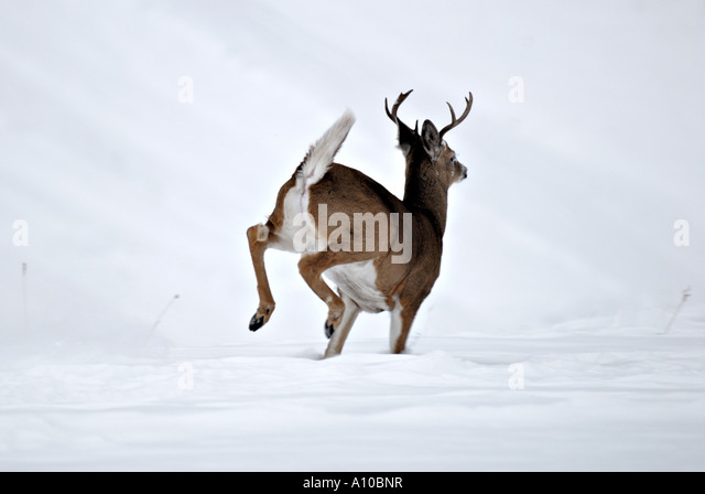 White Tailed Deer Running Stock Photos & White Tailed Deer ...
