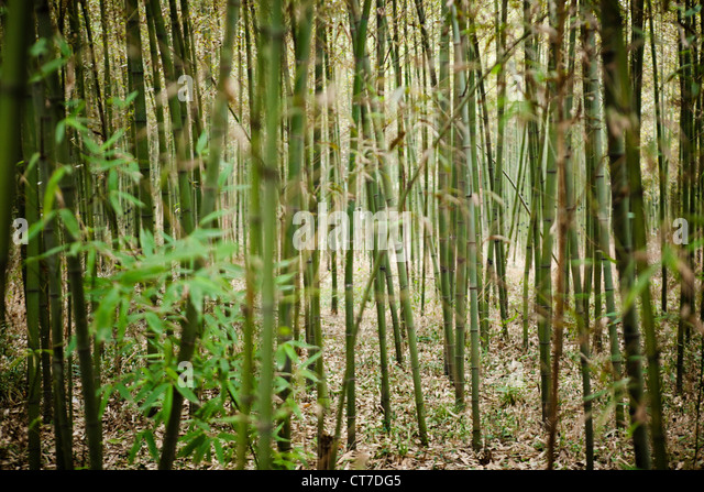 bamboo growing in forest stock image - Growing Bamboo