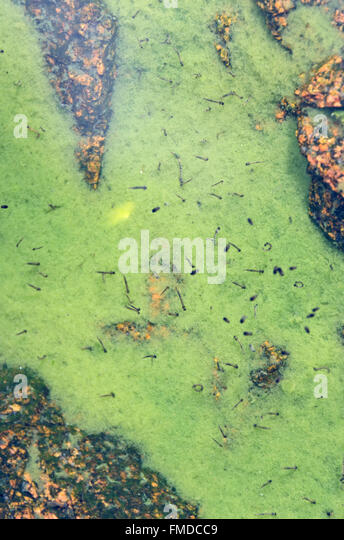Mosquito larvae and pupae stock photos mosquito larvae and pupae stock images alamy for Can mosquitoes breed in swimming pools