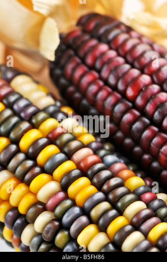 Corn dry corn on white background indian corn indian corn at the