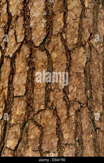 Pine Spruce Stock Photos & Pine Spruce Stock Images - Alamy