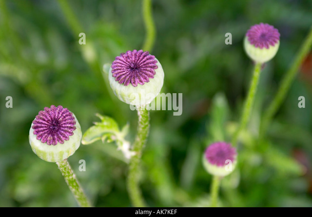 Qinta do Lago Portugal  City pictures : corn poppy seed Papaver Rhoeas Stock Image