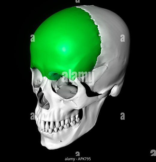Frontal Bone Highlighted On Skull Stock Photos Frontal Bone