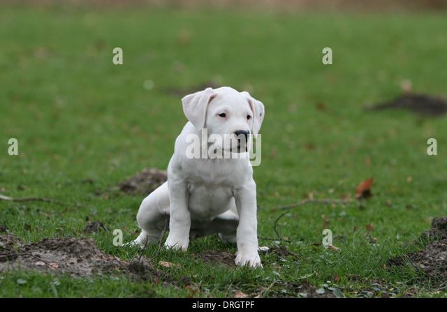 Dogo Stock Photos & Dogo Stock Images - Alamy