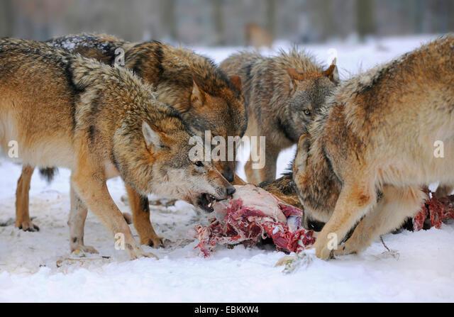Grey Wolf Dog Food