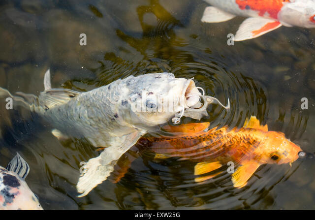 Koi Fish Feed Stock Photos Koi Fish Feed Stock Images