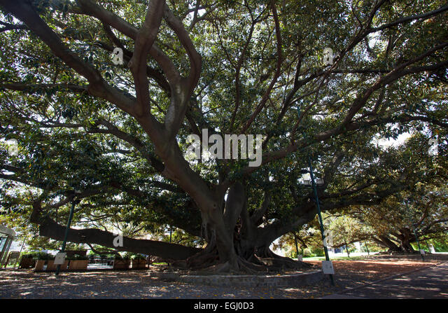Giant Tree Roots Stock Photos & Giant Tree Roots Stock
