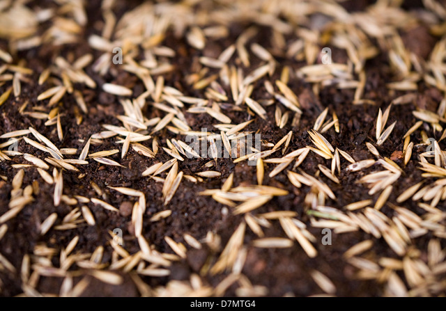 how to make lawn seed grow