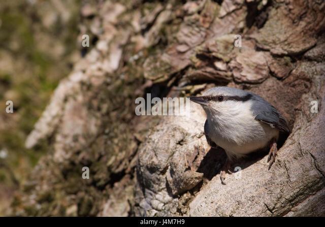 Nuthatch (Sitta europaea) - Stock Image