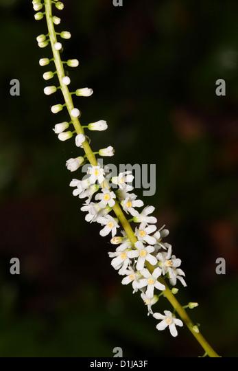 Galax Flower
