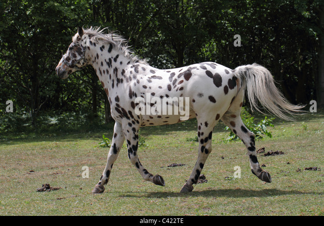 Appaloosa Pony Portrait Stock Photos, Images, &- Pictures - 92 Images