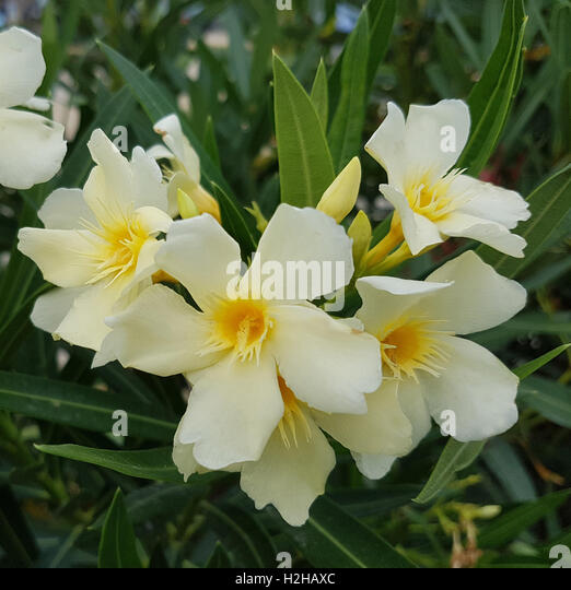 wild nerium oleander stock photos wild nerium oleander stock images alamy. Black Bedroom Furniture Sets. Home Design Ideas