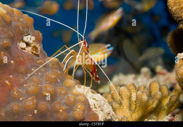 Egypt, Red Sea, Cleaner shrimp (Lysmata amboinesis), close-up - Stock ...