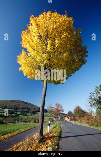 Maple Tree Road Street Autumn Stock Photos Maple Tree Road - Norway maple uses