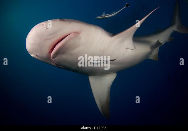 bull shark stock photos bull shark stock images bull shark stock image