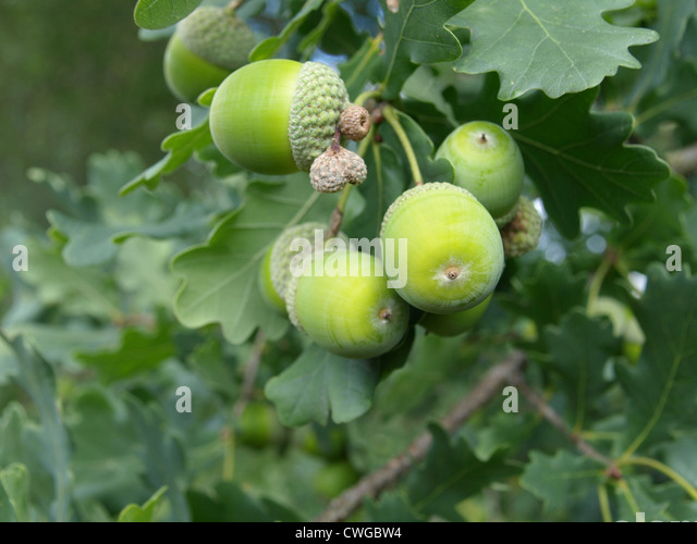 Oak Tree Fruit Part - 46: English Oak Tree With Acorns / Quercus Robur / Stiel-Eiche Mit Eicheln -  Stock
